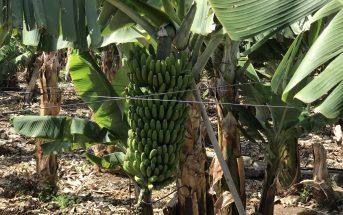 Bananen-Anbau Landwirtschaft Kanaren