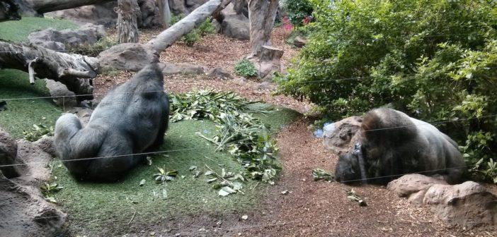 Gorillas Loro Parque Teneriffa