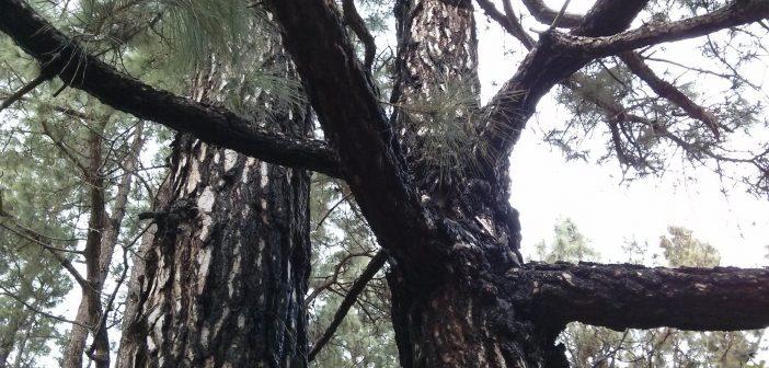 Wundersame Kanaren-Kiefer: So erholt sich der Wald nach einem Feuer