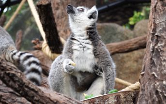 Katta-Baby Loro Parque Teneriffa 2
