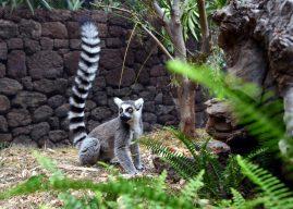 Süßes Katta-Baby im Loro Parque geboren