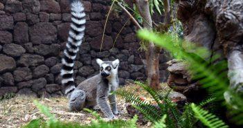 Katta-Baby Loro Parque Teneriffa