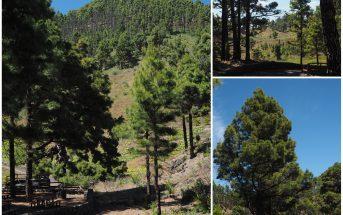 La Palma Kanaren Highlights Los Canarios Kiefernwald 14