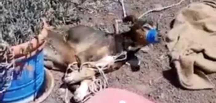 Lanzarote Tierquälerei Hund gefesselt geknebelt 2020