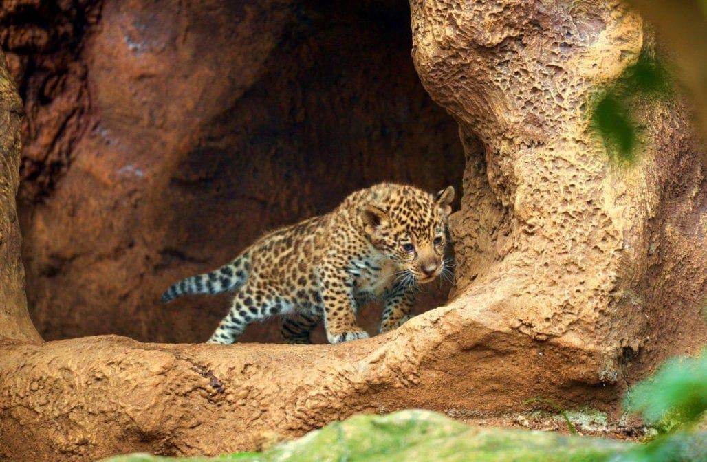 Loro Parque Jaguar-Babys Entdecker