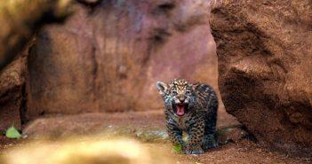 Loro Parque Jaguar-Babys gefährlich