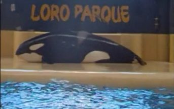 Loro Parque Orca Morgan an Land Screenshot