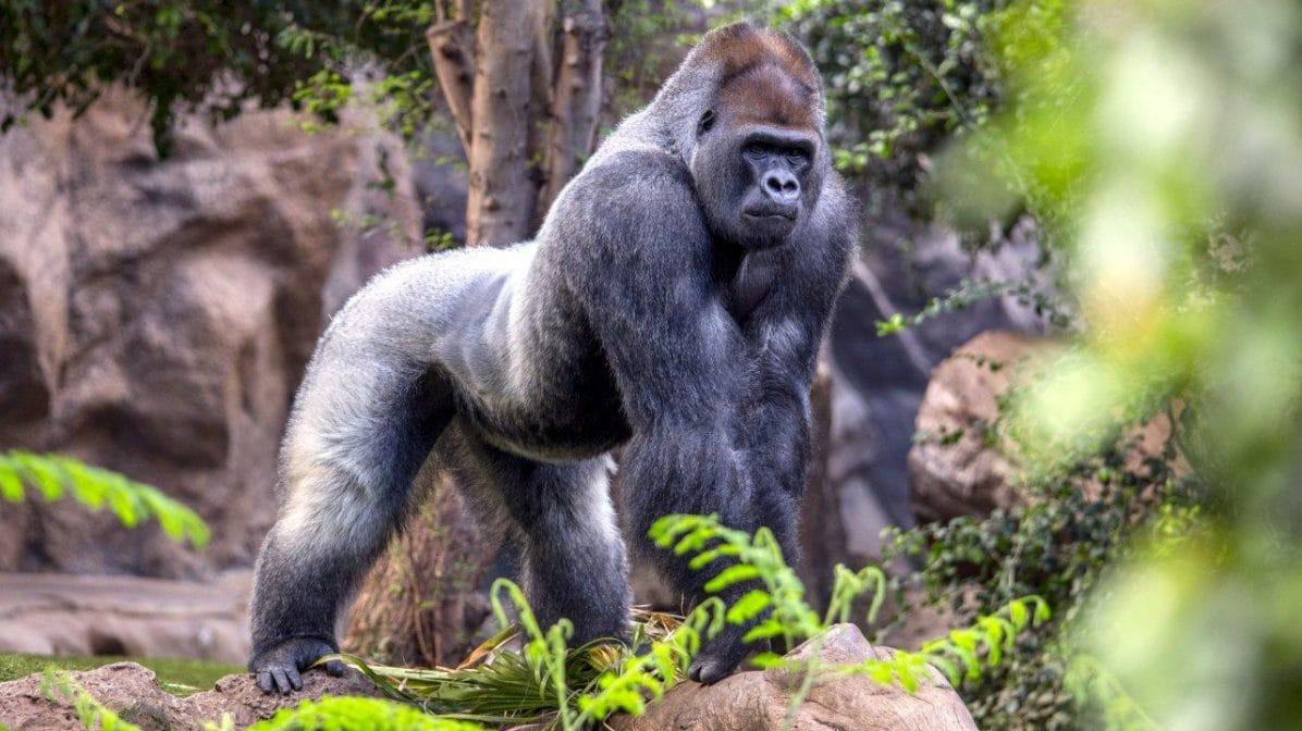 Loro Parque Teneriffa Gorilla