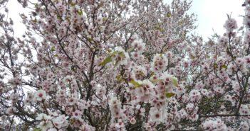 Mandelblüte Teneriffa