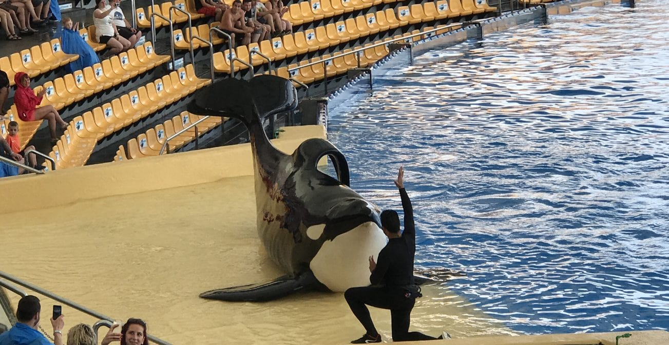 Orca Kunststück an Land Loro Park