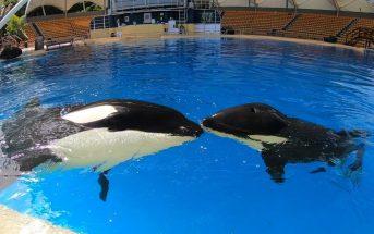 Orca Morgan und Ula im Loro Parque auf Teneriffa