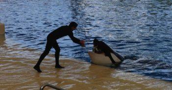 Wal-Fütterung Orca Ocean Loro Parque