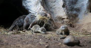 Otter-Babys Loro Parque Teneriffa