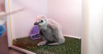 Pinguin-Küken Loro Parque Teneriffa