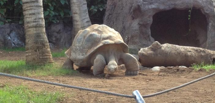Galapagos-Schildkröten im Loro Parque auf Teneriffa
