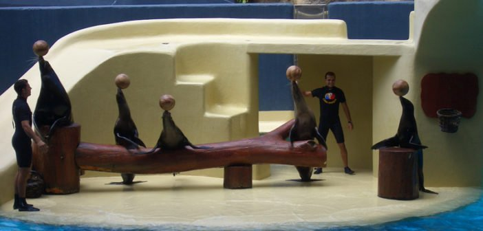 Seelöwen ballancieren Ball Loro Parque