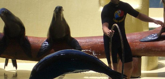 Ein Seelöwe springt durch einen Reifen