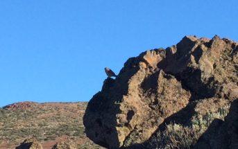 Teidefink Blaufink Teneriffa