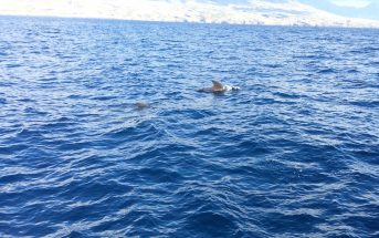 Whale Watching Teneriffa Grindwal