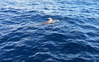 Whale Watching Teneriffa Pilotwal