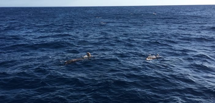Whale Watching Teneriffa Wal-Familie